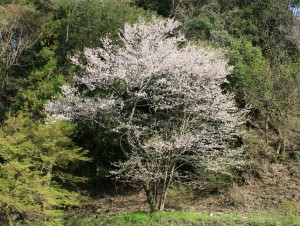 木曽 観光 馬籠 妻籠 はなもも 山桜 3
