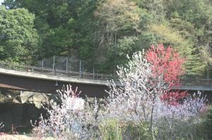 木曽 観光 馬籠 妻籠 はなもも 山桜 1