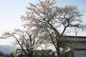 08 馬籠 陣場の桜