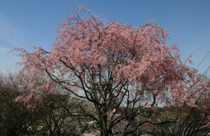 01 馬籠 桝形 紅桜