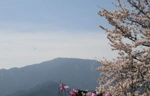 11 馬籠 恵那山 桜