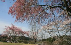 02 馬籠 三色桜